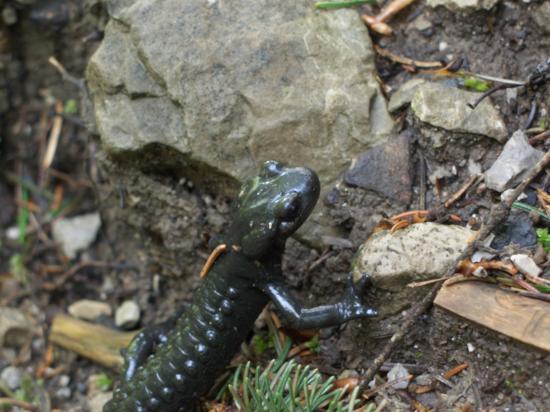 Salamandre Alpestre (Salamandra atra)