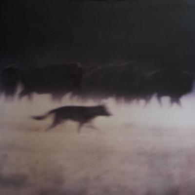 Loup et Bisons d'Europe juillet 1997  photo de philippe kuligowski