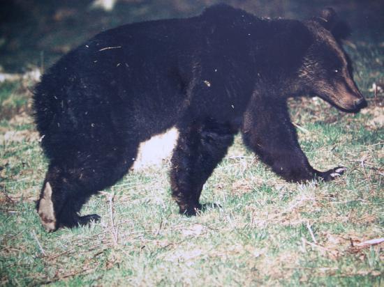 Ours brun (Ursus arctos) mâle