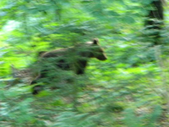L' ours brun ( Ursus arctos ) apparition furtive...
