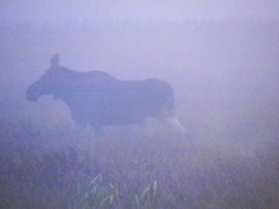 Femelle élan (Alces alces) au petit matin