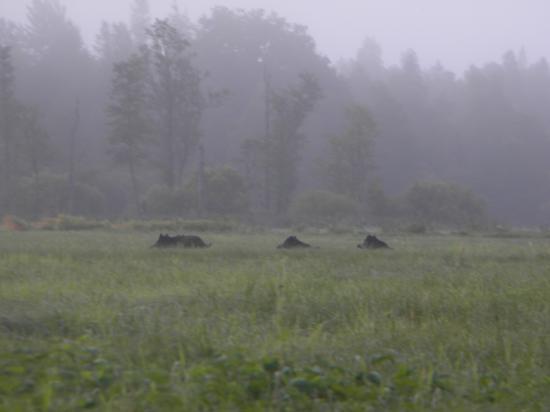 Sangliers (Sus scrofa) au petit matin Soomaa 2009