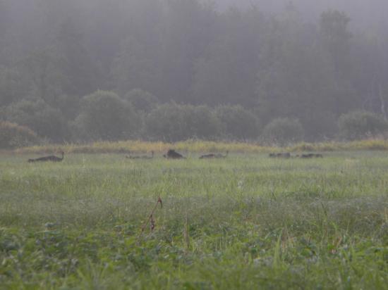 Sangliers (Sus scrofa) au petit matin