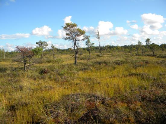 Pin sylvestre d'une trentaine d'années sur tourbière