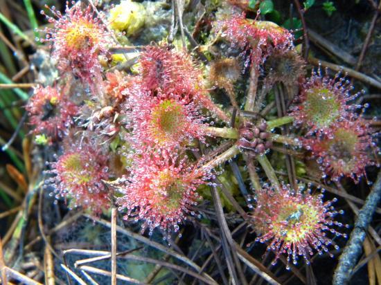 Droséra  plante carnivore des tourbières