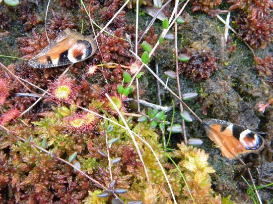 Droséra plante carnivore des tourbières, relief de repas