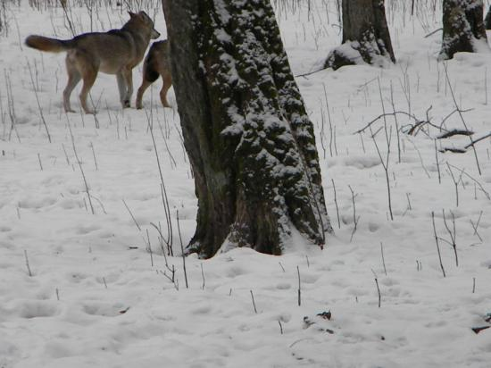 Loups gris (Canis lupus), mars 2010 Bialowieza