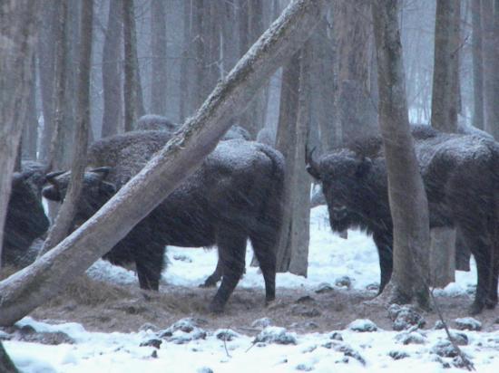 Bison d'Europe (Bison bonasus) en mars 2010, Bialowieza
