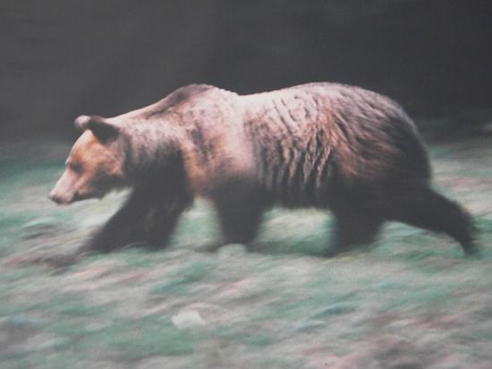 Ours brun (Ursus arctos) femelle, affût de Ceausescu