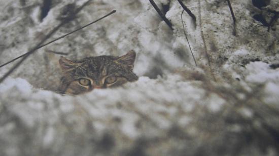 Le chat forestier ou chat sauvage (Felis silvestris)