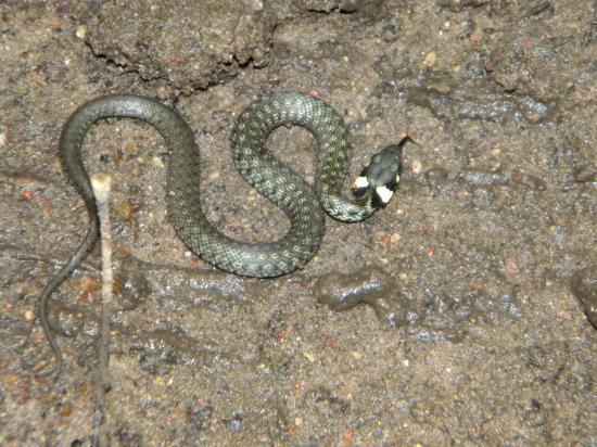 Jeune couleuvre à collier (Natrix natrix)