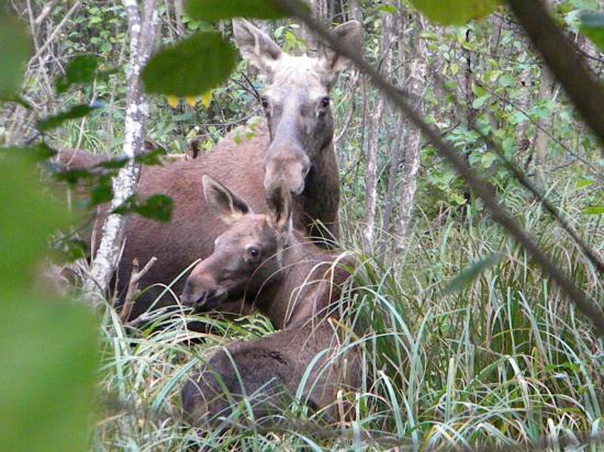 Femelle élan (Alces alces) et son jeune dans une aulnaie