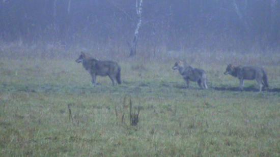 Une meute au petit matin, loups gris (Canis lupus)