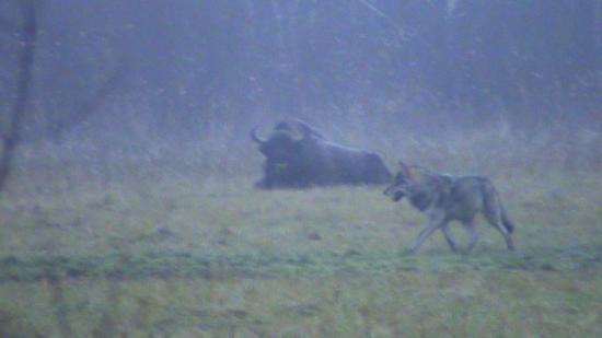 Loup (Canis lupus) et Bison d'Europe (Bison bonasus) novembre 2009