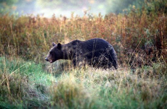 Ours brun (Ursus arctos) à l'approche à pieds 12 mètre de nous