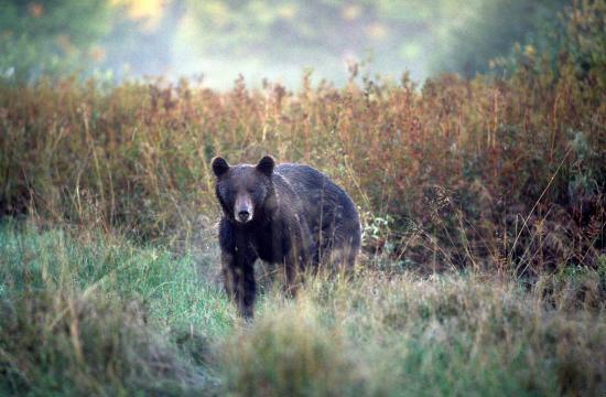 Ours brun (Ursus arctos) à l'approche Soomaa septembre 2005