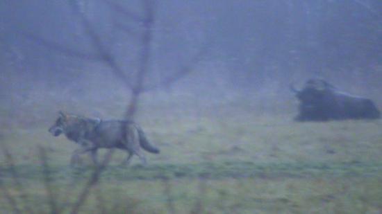Le loup (Canis lupus) passe, le bison (Bison bonasus) reste de marbre