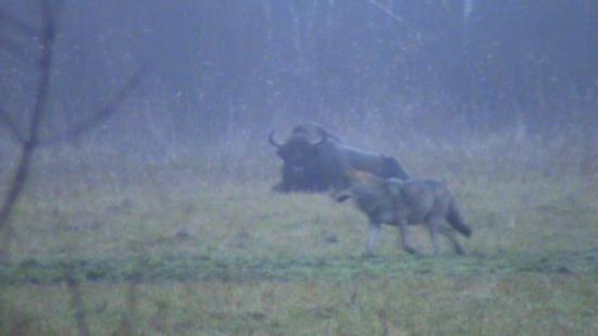 Loup Alpha et Bison d'Europe  Pologne Bialowieza  novembre 2009