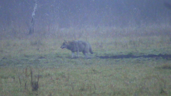 Un loup (Canis lupus) errant dans la brume du petit matin