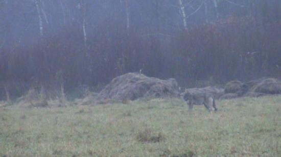 Un loup (Canis lupus)