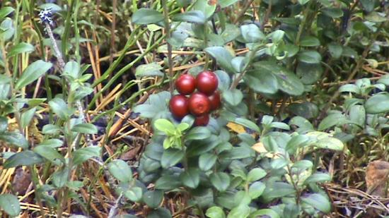 Airelles rouges (Vaccinium vitis-idaea)  le dessert est servi...