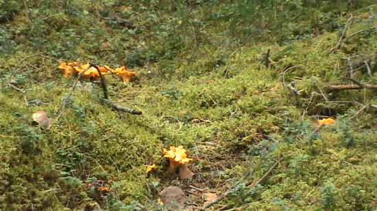 La chanterelle (Cantharellus cibarius) ou girolle aux dejeuner