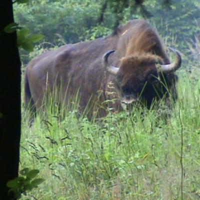 Bison (Bison bonasus) taureau