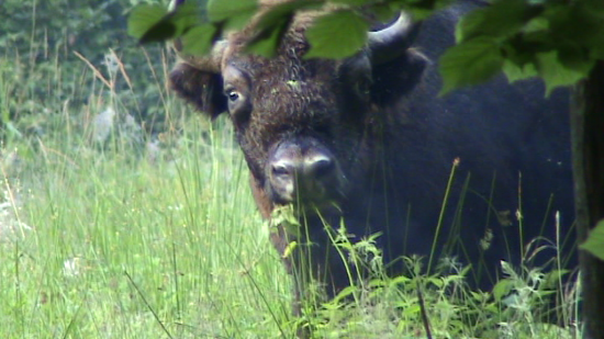 Jeune bison (Bison bonasus) taureau