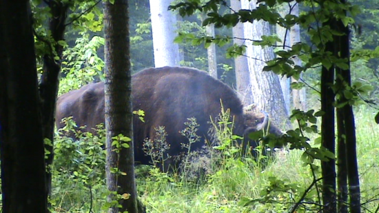 Bison (Bison bonasus), grand mâle