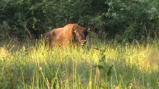 Jeune bison (Bison bonasus) mâle  juillet 2009