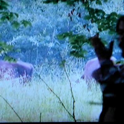 """observation des Bisons d'Europe, troupe de taureaux """" Bialowieza Pologne juillet 2009 """""""