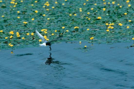 Guifette noire (Chlidonias niger) pêchant entre