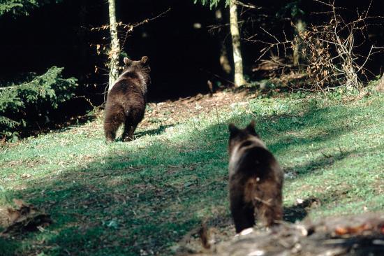 Deux oursons, affût de Ceausescu