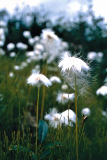 Le coton arctique ou linaigrette : eriophorum sp