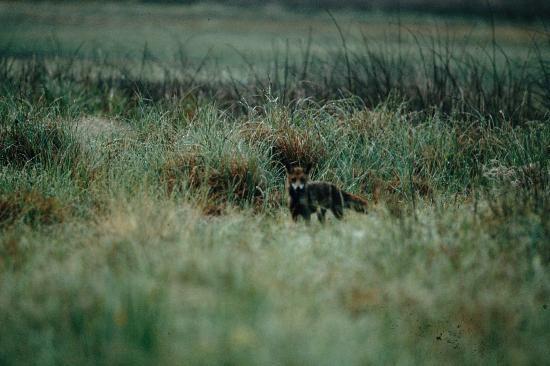 Renard (Vulpes vulpes) à la chasse Soomaa 2009