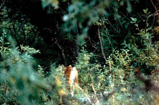 Lynx boréal (Lynx lynx) vue de dos