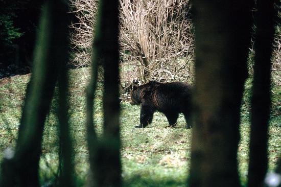 Ours brun (Ursus arctos) grand mâle, affût de Ceausescu