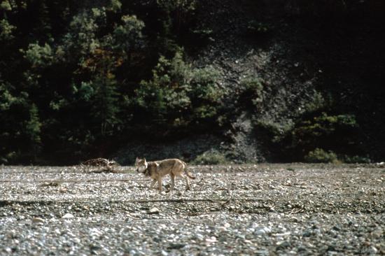Un loup gris (Canis lupus)