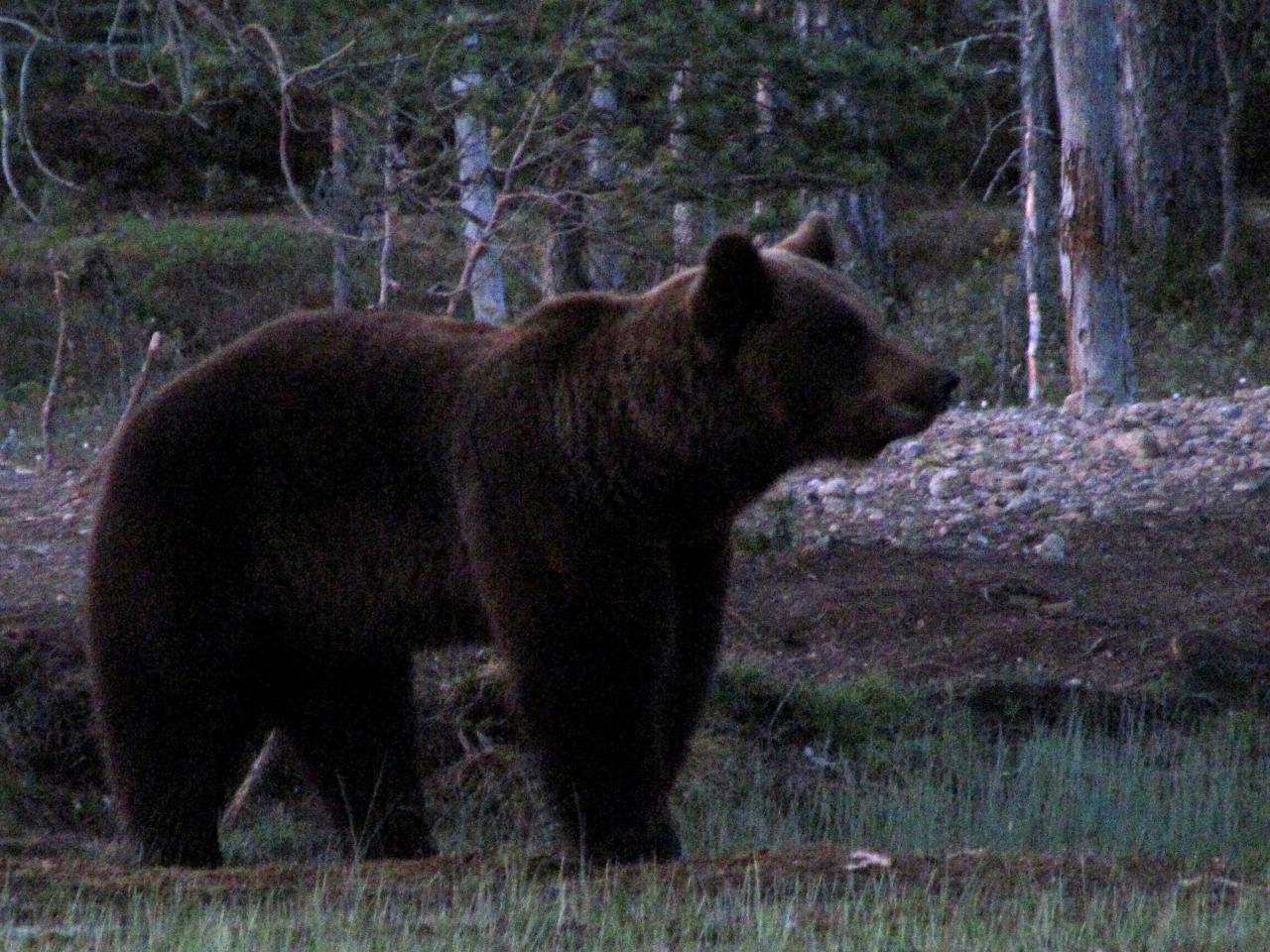 Ours dans le no man's land