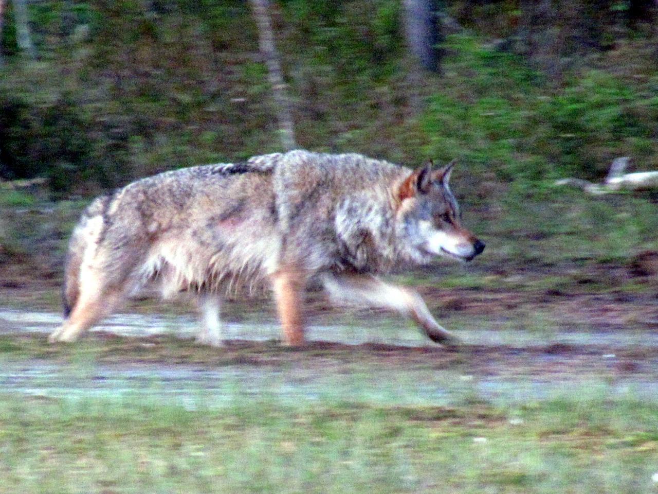 A l'affût aux loups : Loup alpha dans le no man's land