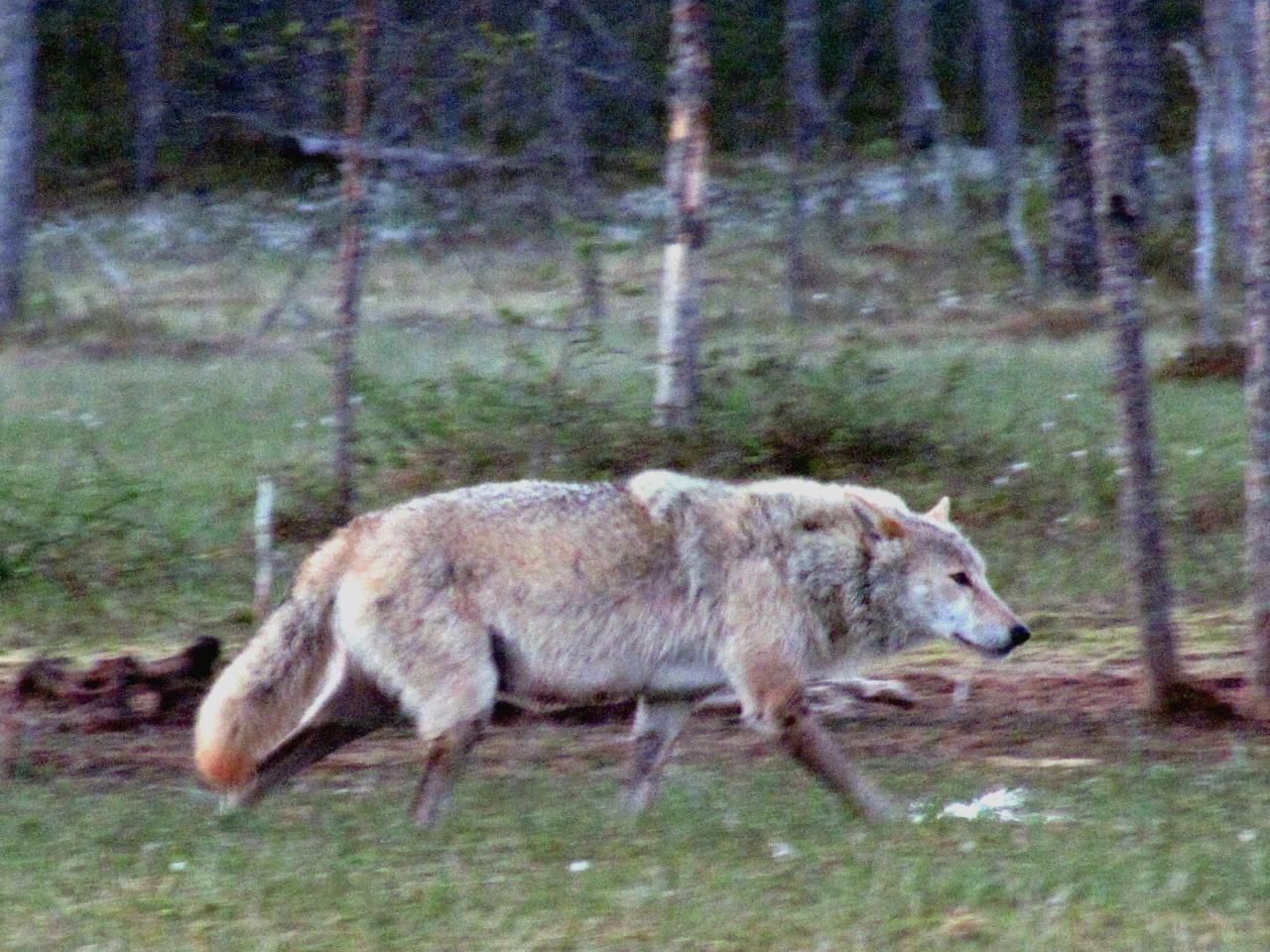 A l'affût aux loups : Louve alpha dans le no man's land