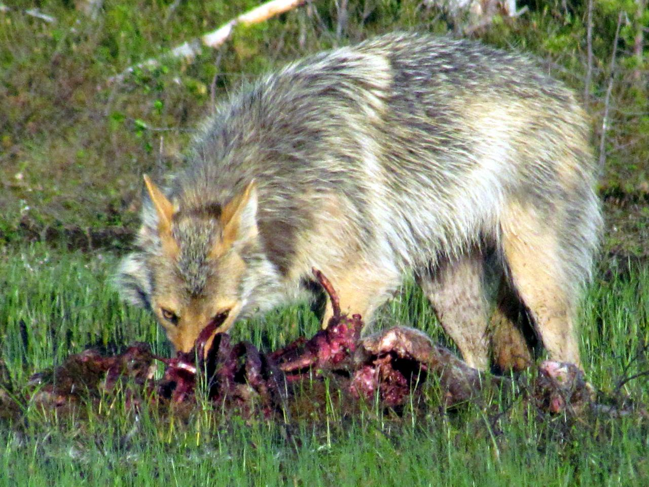 A l'affût aux loups dans le no man's land