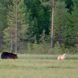 Eté Finlande Les loups sous le soleil de minuit du 6 au 13 août 2018 privé