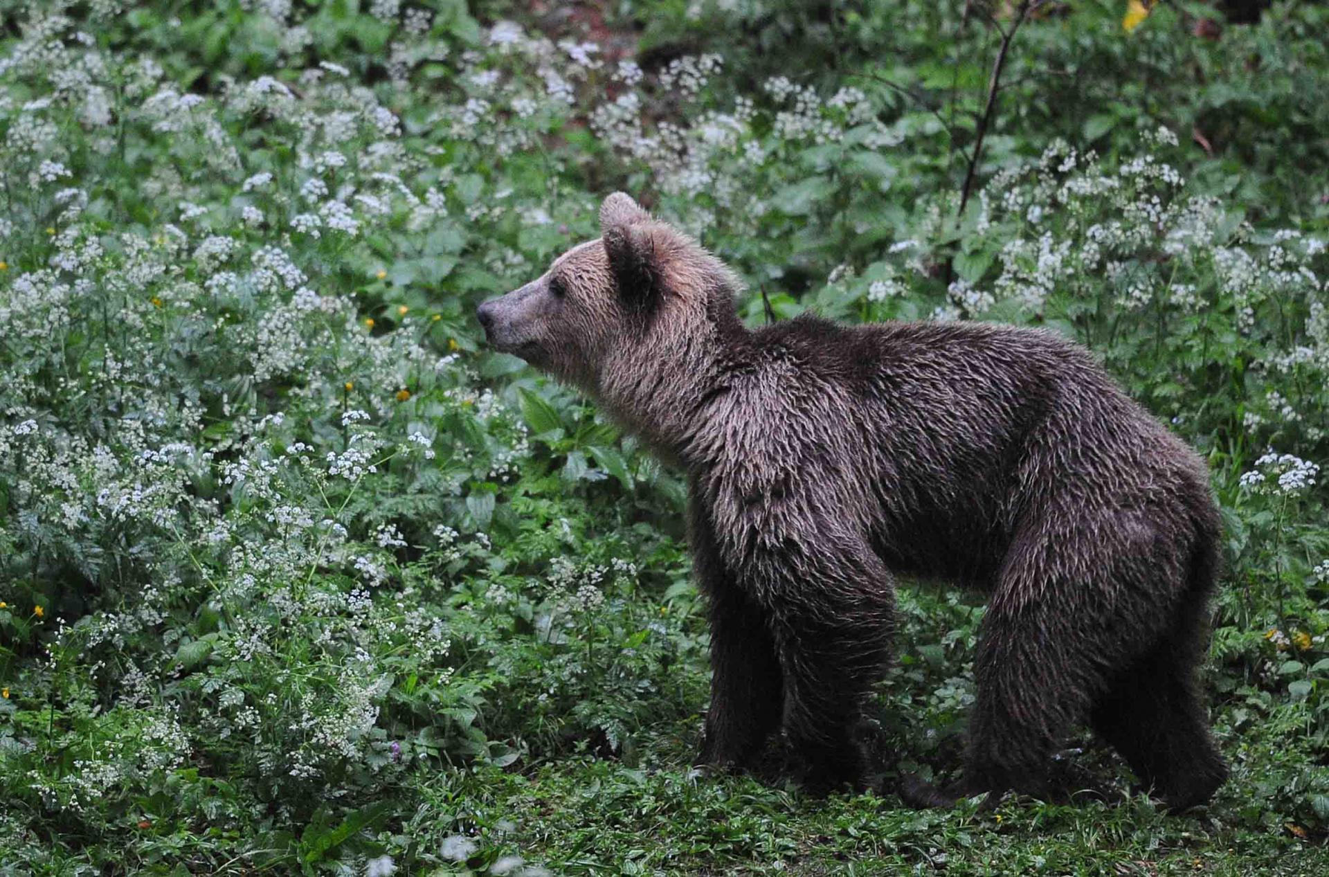 Eté Slovénie La montagne aux ours du 20 au 28 juin 2017