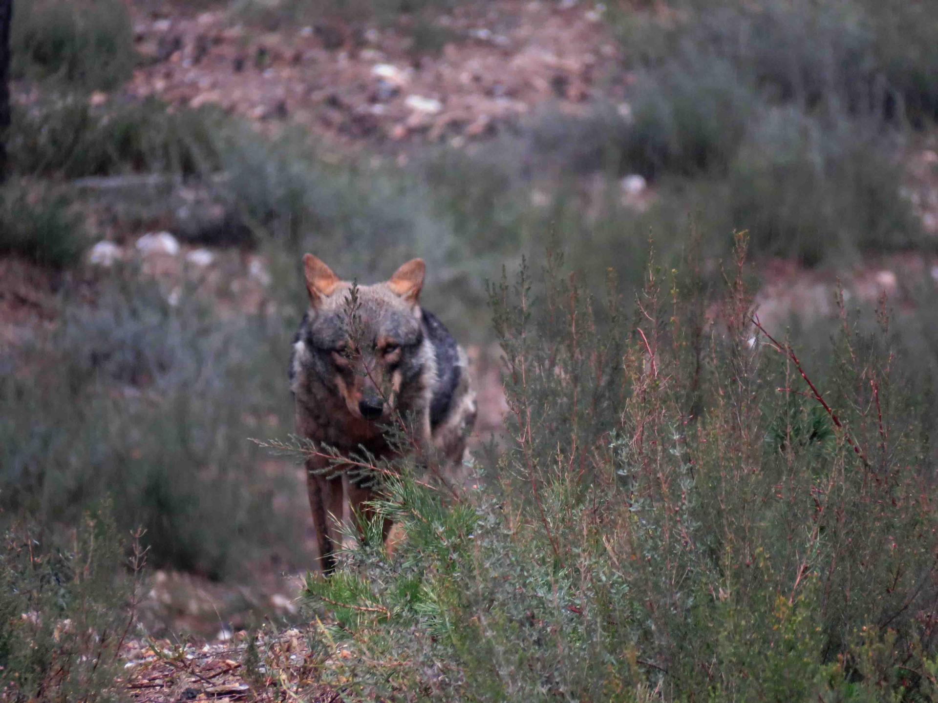 Hiver Espagne à l'affut du loup ibérique à la demande