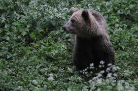 Ours à l'approche Slovénie