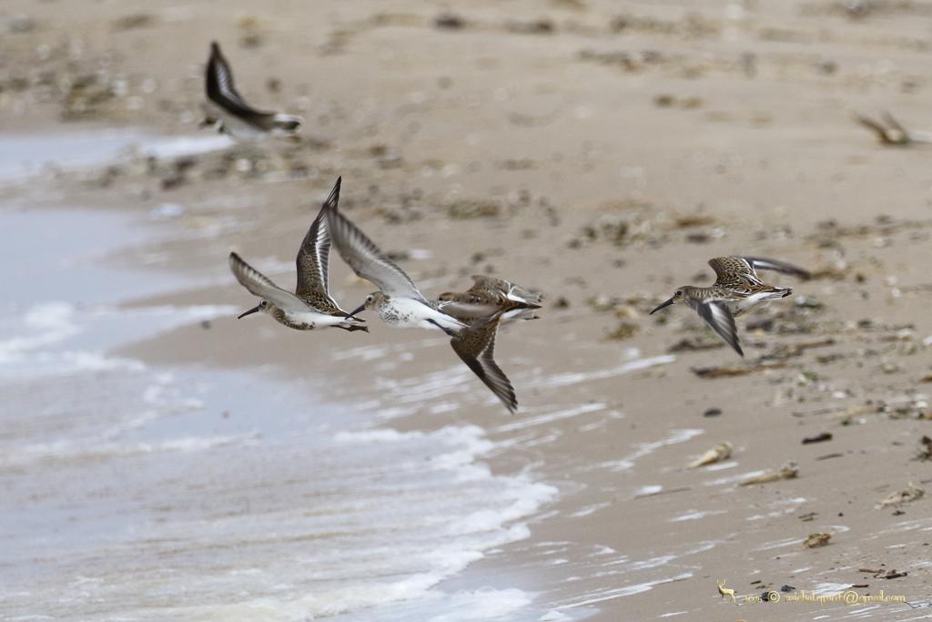 Automne Estonie ornithologie du 10 au 17 octobre 2017