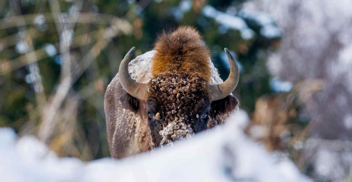 Bison site