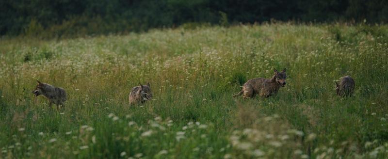 Hiver Pologne La plus grande meute de loups d' Europe du 20 au 26/02 2020 - PRIVE
