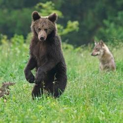 Printemps Pologne Le loup au cœur des forêts Polonaises du 7 au 14 mai 2019 5 places restantes